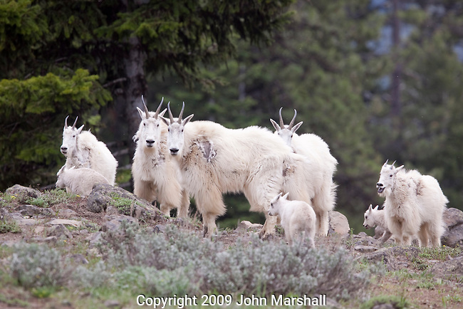 Image taken June 2009 in T17 N, R15 E.  Kittitas County,   Mountain goats along trail 996 in section 17, east side of Washington Cascades.