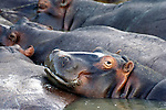 ST LUCIA ESTUARY - 4 July 2007 - A Hippopotamus in the St Lucia estuary in northern KwaZulu-Natal keeps a weary eye on the photographer. These nocturnal creatures have become a prominent attraction for tourists to the area. At night they leave the water for firmer ground where they eat enormous quanitities of grass and vegetation, before returning to the estuary at dawn..Picture: Giordano Stolley/Allied Picture Press