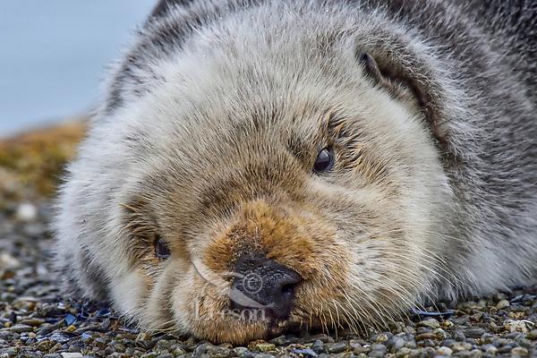 Sea Otter (Enhydra lutris) resting on old boat dock,  Prince William Sound, Alaska.