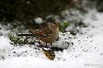 SPAROW: white-throated sparrow
