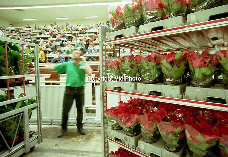 Foto: VidiPhoto..BEMMEL - Het kerststerrenseizoen is weer begonnen. Op Bloemenveiling Oost-Nederland (VON) in Bemmel, zijn de eerste exemplaren aangevoerd. Door de stervormige bladeren en de rode kleur van de bloem, zijn de planten vooral rond de Kerst erg populair. Dan liggen de prijzen ook flink hoger dan nu..