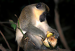 Vervet Monkey, Cercopithecus aethiops, in  tree, feeding on fruit, West Africa.Gambia....