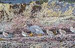 Falkland Islands / Islas Malvinas (British Overseas Territory), Falkland steamer duck (Tachyeres brachypterus)