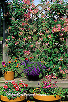 63821-05410 Honeysuckle on trellis, containers with Petunias, Zinnia Profusion, Ageratum, Dianthus, Blue Lobelia, Red Verbena  Marion Co.  IL
