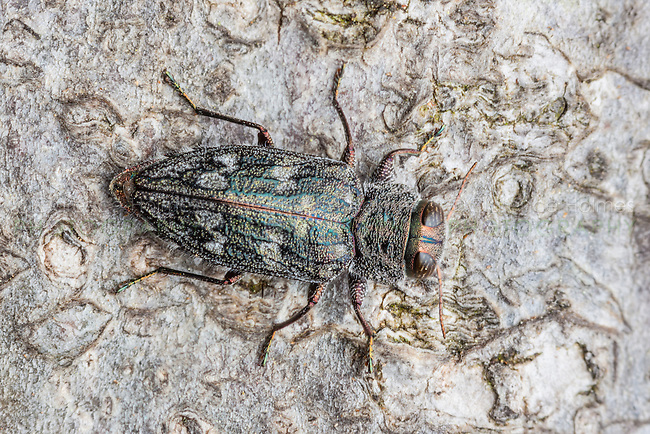 A Metallic Wood-boring Beetle (Chrysobothris rugosiceps) perches on the trunk of a fallen oak tree.
