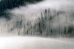 Fog created by a summer storm fills a forest of spruce and fir trees, San Juan Nat'l Forest, CO