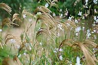 Miscanthus Sinensis Nepalensis