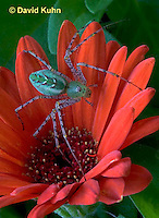 "0625-07nn  Green Lynx Spider - Peucetia viridans  ""Eastern Variation"" - © David Kuhn/Dwight Kuhn Photography"