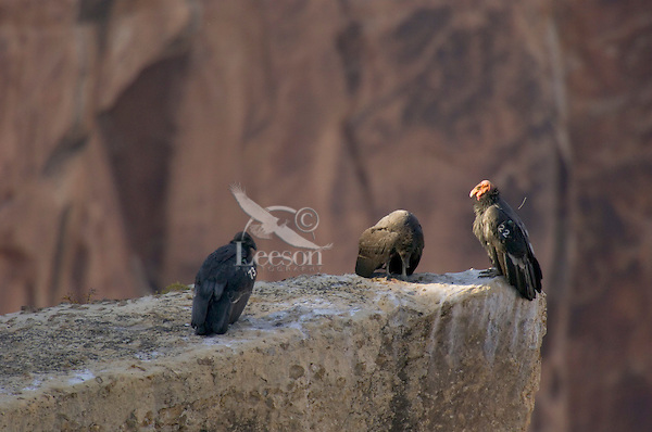 California Condors (Gymnogyps californianus)--adult (on right) with two immature condors.  Western U.S.