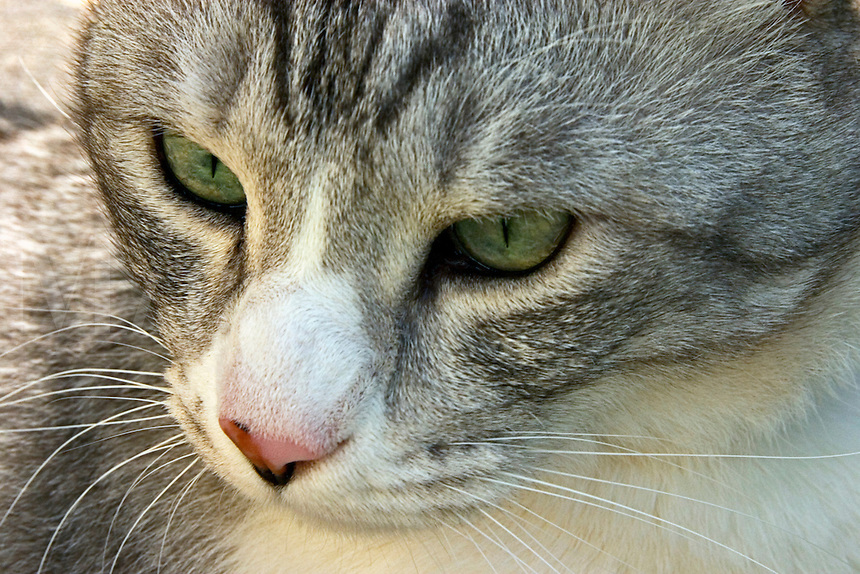 Grey/gray tabby cat, close up of face..