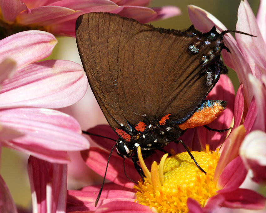 The Great Purple Hairstreak is shaped like a large black triangle colored with reddish-orange at the base of the wings and reddish-orange (below) and blue (above) body.