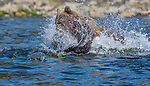 Lucky salmon escapes clutches of hungry bear