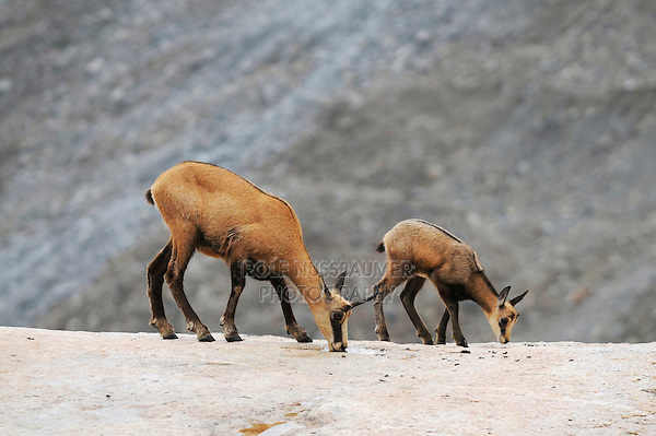 Chamois (Rupicapra rupicapra), female with young licking salt, Grimsel, Bern, Switzerland, Europe