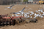 California gulls following a plow near Soap Lake, WA.  Birds are feeding on invertebrates turned up by plow.