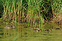 00315-060.09 Blue-winged Teal Duck hen and brood are on the water of marsh typical of species.  Waterfowl, hunt, duckweed, wetland.  H2R1