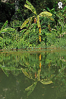 Banana tree on river banks (Licence this image exclusively with Getty: http://www.gettyimages.com/detail/83154186 )