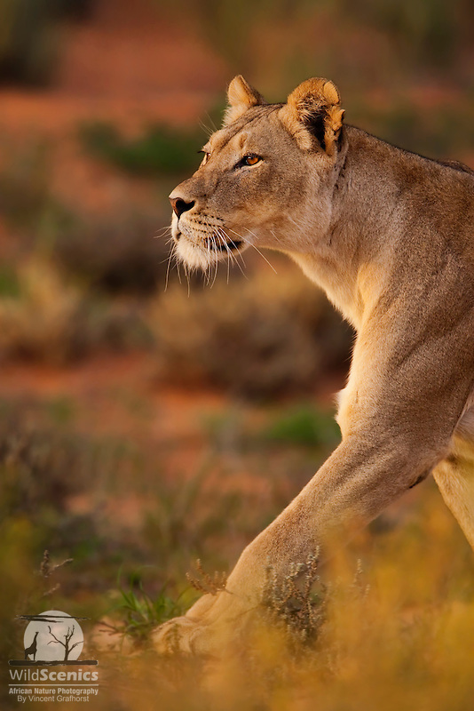 Hunting lioness with focussed stare .