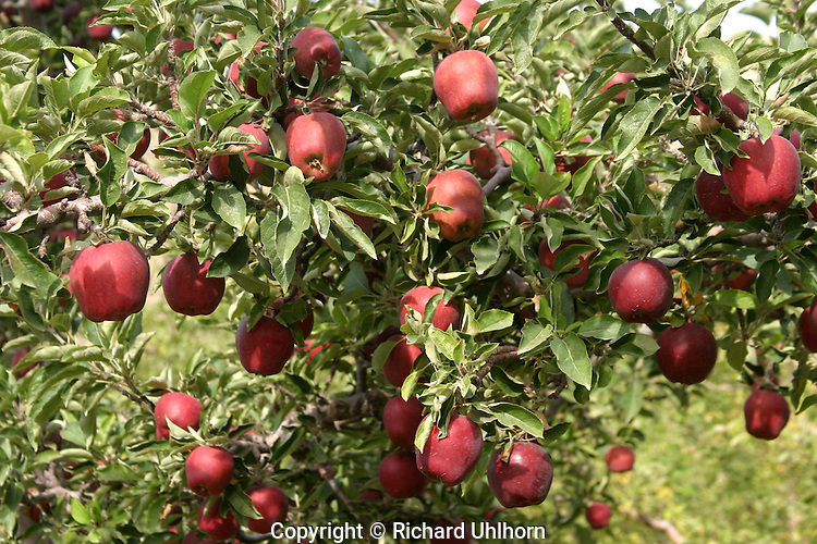 Red Delicious apples hanging from a tree in a commercial apple orchard are ready for picking.