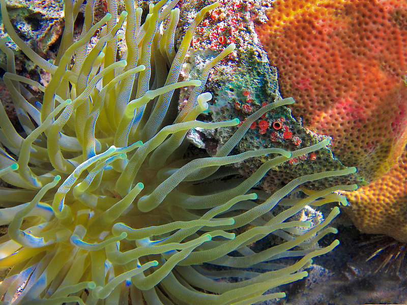 Sebae anemone and Scarlet Coral. St. John. Virgin Islands Virgin IslandsVirgin Islands Coral Reef National Monument.