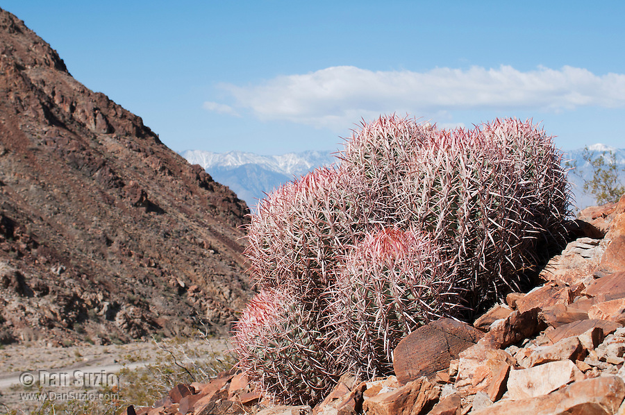 Cottontop cactus, Echinocactus polycephalus, in the Inyo Mountains near Keeler, California. Sierra Nevada range is visible in the background.