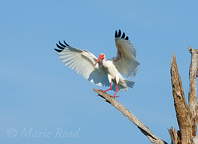 White Ibis (Eudocimus albus), adult  landing on perch, Viera, Florida, USA