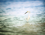 Egrets*