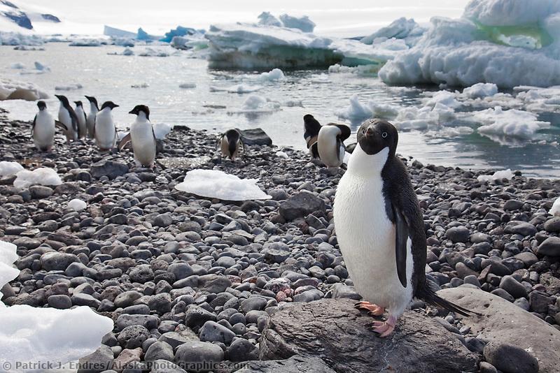 Adelie penguin colony on Paulet Island, Antarctic Peninsula.