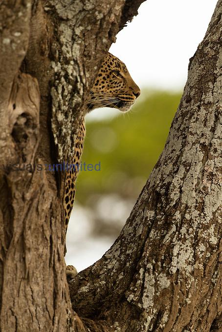 African Leopard in a tree (Panthera pardus), Seronera, Serengeti National Park, Tanzania