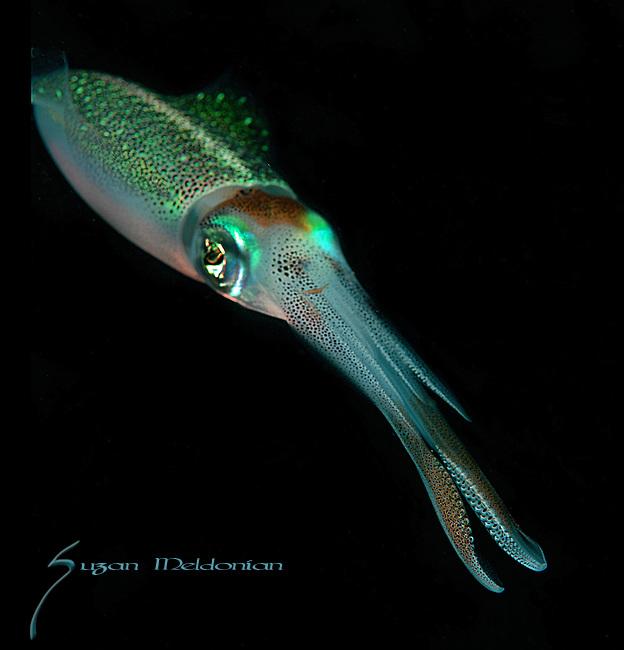 Squid, Caribbean Reef Squid, Sepioteuthis sepioidea