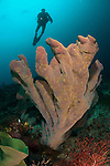 Diver and elephant ear sponge (Ianthella basta), Raja Ampat, West Papua, Indonesia