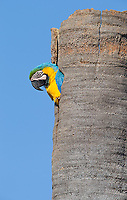 We saw several Blue and yellow macaws in Emas National Park.