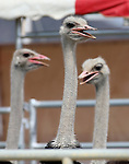 Ostriches wait for races at the 56th annual International Camel &amp; Ostrich Races in Virginia City, Nev. on Friday, Sept. 11, 2015. <br /> Photo by Cathleen Allison