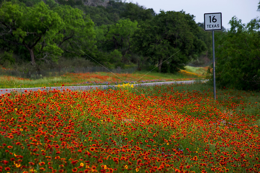 A stunning display of ivid red Indian Blanket Firewheels wildflowers bathed in morning light covering State Highway 16 in the beautiful Texas Hill Country city of Kerrville, Texas - Stock Image.