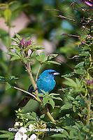 01536-02409 Indigo Bunting (Passerina cyanea) male on Fragrant Abelia bush (Abelia mosanensis)  Marion Co., IL