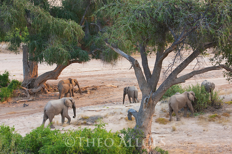 Namibia;  Namib Desert, Skeleton Coast,  desert elephant  (Loxodonta africana) breeding herd feeding in dry river bed under acacia trees
