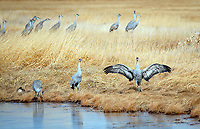March 21, 2018: A sandhill crane begins a mid-morning dance.  Each spring, as many as 27,000 sandhill cranes migrate through Colorado's San Luis Valley and the Monte Vista National Wildlife Refuge, Monte Vista, Colorado