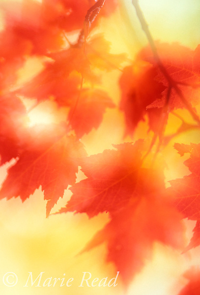 Autumn leaves abstract, New York, USA<br /> Slide # ABSF-21
