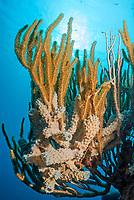 Vase sponges, Callyspongis vaginalis, and soft corals, Muricea elongata, Salt Pier, Bonaire, Caribbean Netherlands, Caribbean