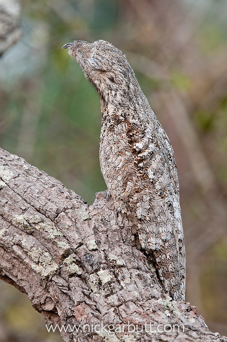Great Potoo (Nyctibius grandis) resting camouflaged during the day on a tree branch in forests adjacent to the Pixiam River. Northern Pantanal, Brazil.