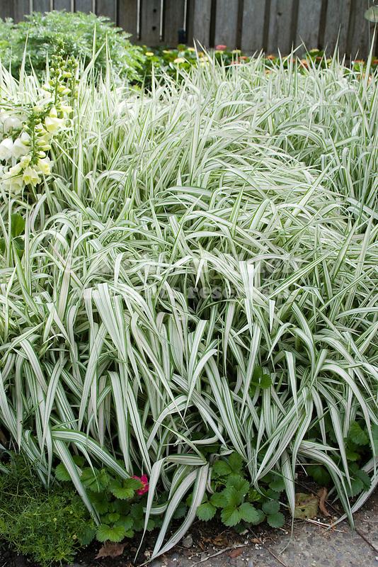 RIBBON GRASS, PHALARIS ARUNDINACEA STRAWBERRIES AND CREAM (SYN. FEESEY'S FORM)