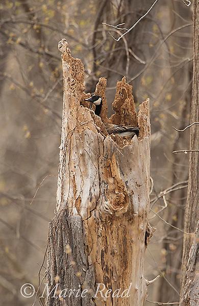 Canada Goose (Branta canadensis) nesting in the broken-off top of tree stump, New York, USA