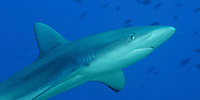 Galapagos shark, mano, Carcharhinus galapagensis, Maro reef, Papahanaumokuakea Marine National Monument, Northwestern Hawaiian Islands, Hawaii, USA, Pacific Ocean