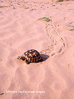 02542-00106 Texas Tortoise (Gopherus berlandieri) walking in sand Starr Co. TX