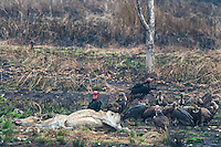 """Critially endangered Red-headed Vultures, White-rumped Vultures, and Slender-billed Vultures (Sarcogyps calvus, Gyps bengalensis, Gyps tenuirostris) feed on a dead cow at a """"vulture restaurant."""" (Cambodia)"""