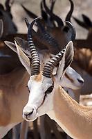 Sprigbock: AFRIKA, NAMIBIA, (AFRICA), 12.01.2019: Namibia: Springbock  im Etosha National Park.