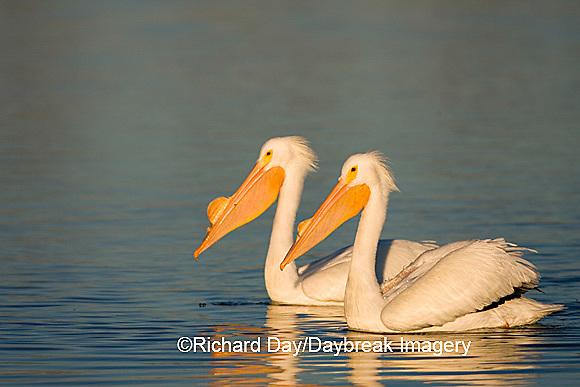 00671-008.02 American White Pelicans (Pelecanus erythrorhynchos)  Riverlands Environmental Demonstration Area,  MO