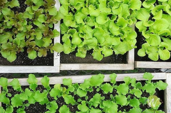 Lettuce sets in flats.