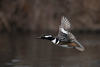 Hooded Merganser (Lophodytes cucullatus), adult male taking flight from Upper Cascade Lake in Islip, Brightwaters, New York
