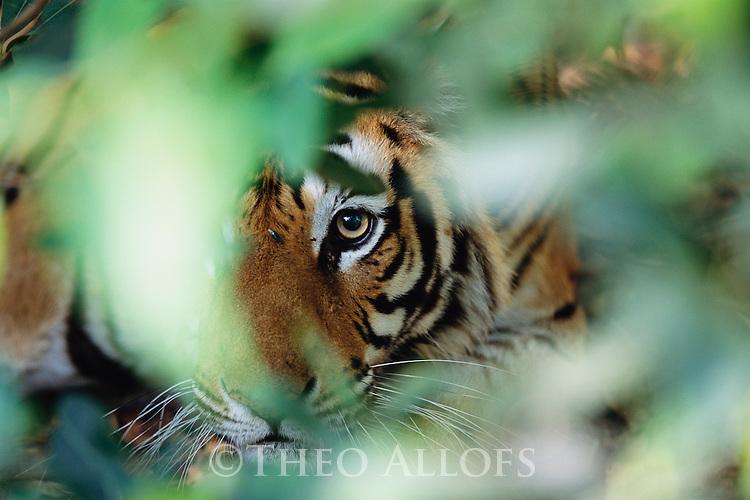 Bandhavgarh National Park, India; Tiger in Hiding