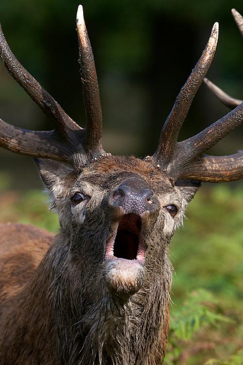 Red deer (Cervus elaphus) stag roaring during the rut at Bushy park, London